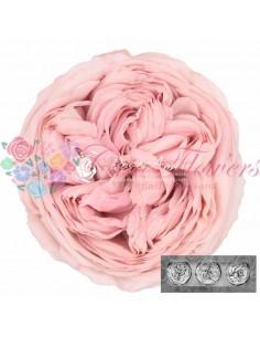 Trandafiri Gradina Criogenati Roz Pal KabukyzaBic07