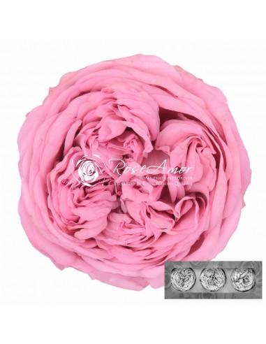 Trandafiri Gradina Criogenati Roz KabukyzaPin04