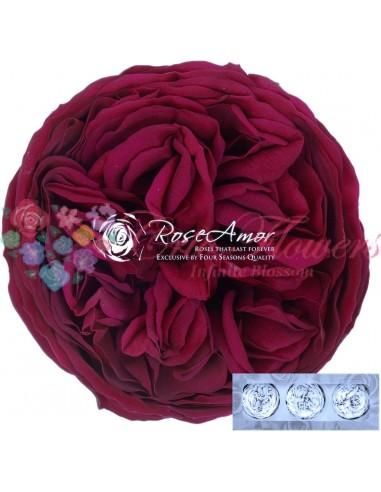 Trandafiri Gradina Criogenati Ciclam KabukyzaPin05