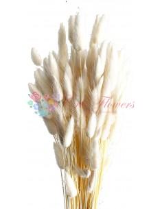 Lagurus Albit